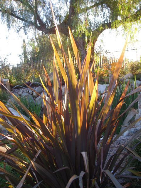 closeup phormium and pepper tree