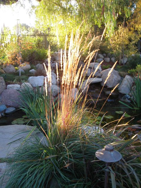 ornamental grass calamagrostis backlit by morning sun near a pond
