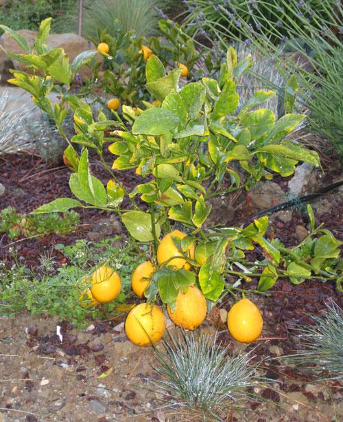 meyer-lemon-shrub1.jpg