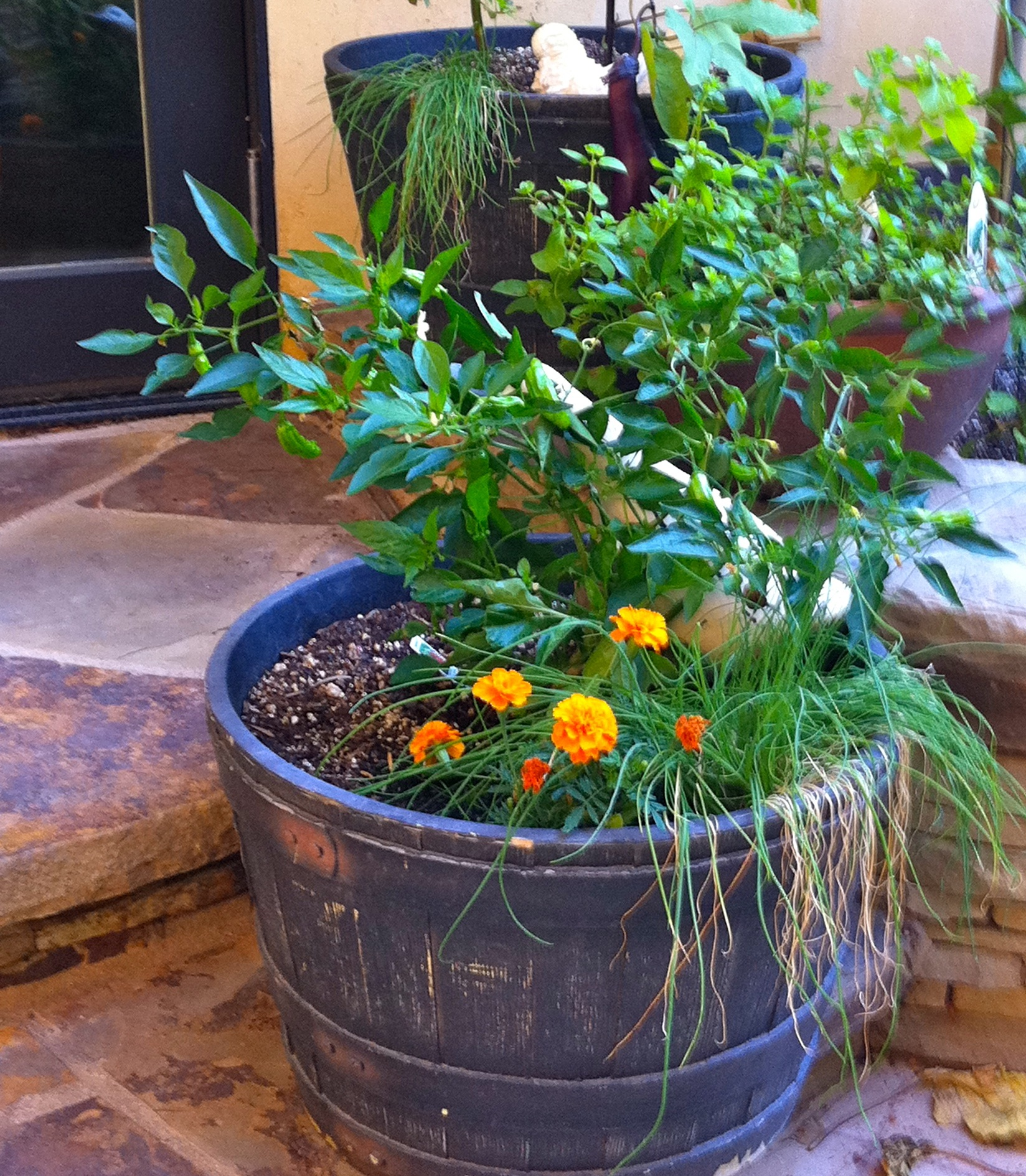 Growing Peppers In Your Vegetable Garden: Shishito Peppers Growing In A Whiskey Barrel Garden