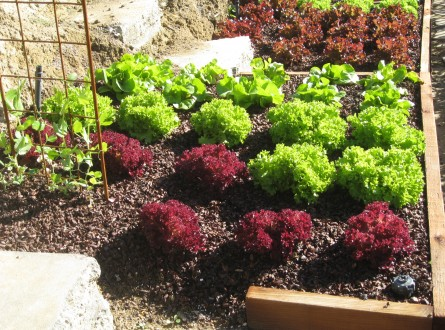 Edible garden by Shirley Bovshow red and green lettuces