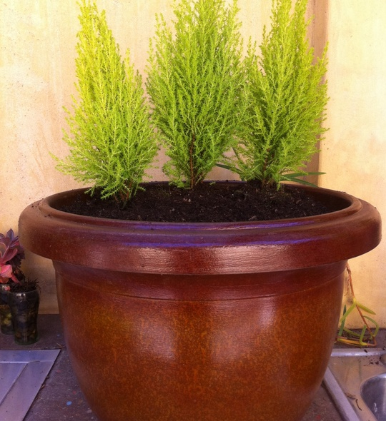 Lightweight_Faux_Ceramic_Container_Garden_With_Small_Lime_Green_Cypress