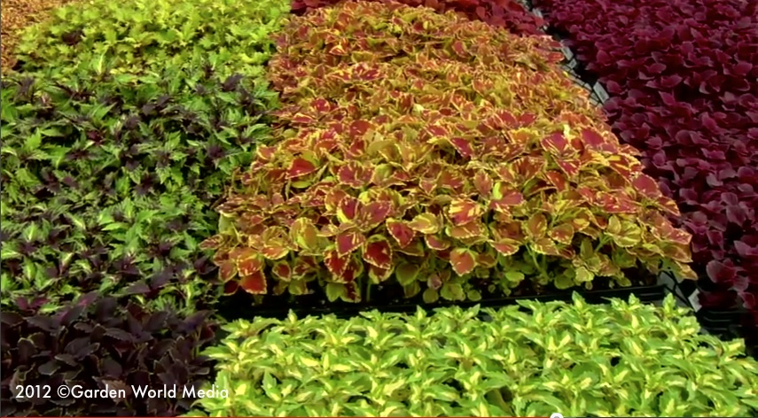 Coleus_plants_in_growing_trays_proven_winners