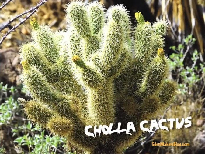 Cholla-cactus-teddy-bear-cactus-edenmakersblog