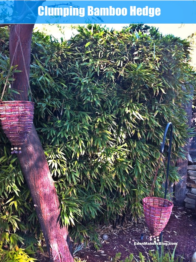 Clumping-Bamboo-hedge-edenmakersblog