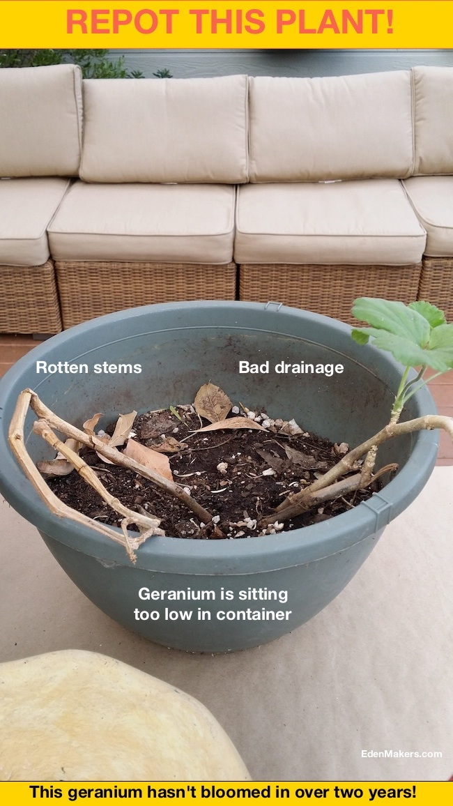 Geranium-plant-sitting-too-low-in-container-edenmakers