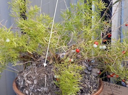 root-bound-asparagus-fern-needs-repotting-edenmakers