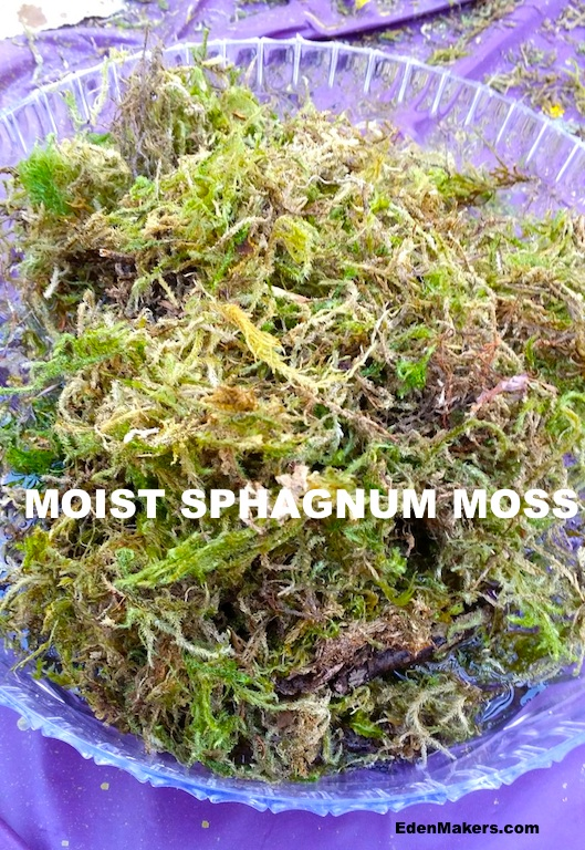 moistened-moss-in-bowl-for-succulent-planting-edenmaker