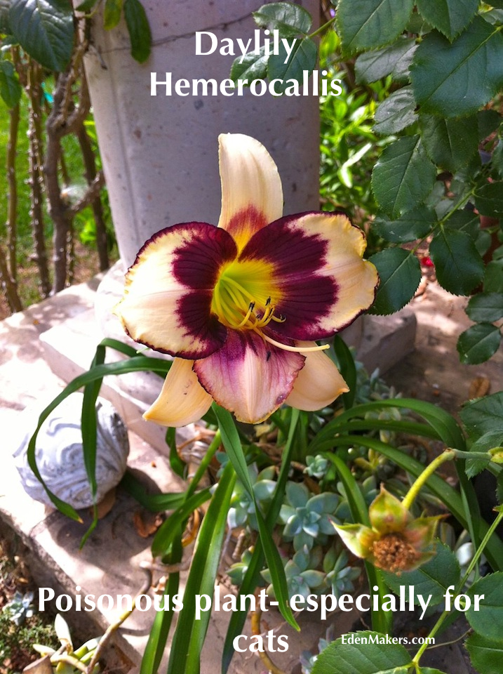Daylily-closeup-peach-and-red-color-poisonous-plant-cats-garden-expert-shirley-bovshow