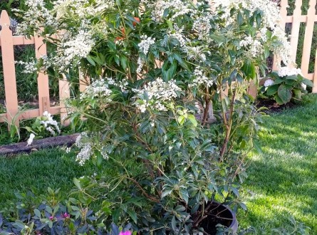 Lily of the Valley shrub, Pieris japonica in bloom. Can be a poisonous plants keep small kids and pets away from seeds, flowers,