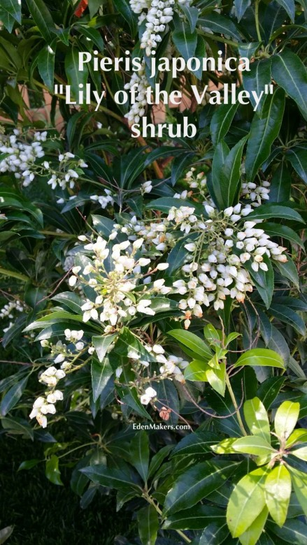lily-of-the-valley-shrub-flowers-close-up-garden-expert-shirley-bovshow-talks-poisonous-plants