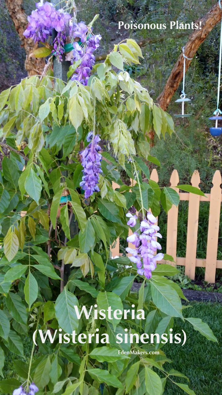 purple-wisteria-vine-seeds-are-poisonous-garden-expert-shirley-bovshow-on home-and-family-show-hallmark-channel