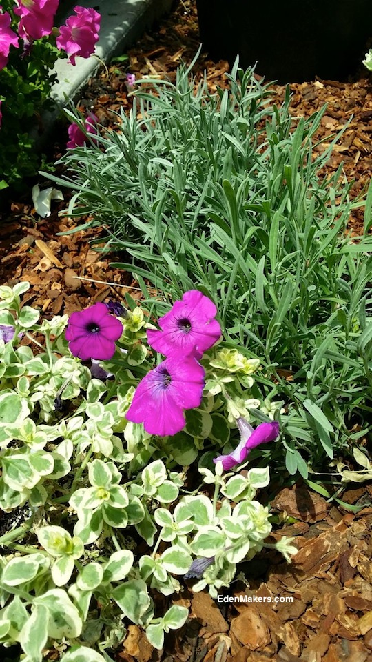 pink-petunia-glamouflauge-grape-by-hort-couture-with-english-lavender-designed-by-shirley-bovshow-edenmaker-home-and-family-show-plants-for-narrow-garden-bed