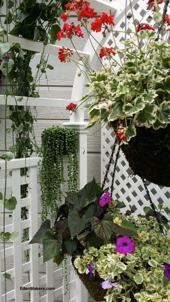 red-geranium-flower-basket-grape-petunias-variegated-leaves-string-of-pearls-succulent-sits-on-ledge-of-white-arbor-designed-by-shirley-bovshow-home-and-family-show-edenmakers