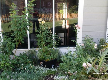 small-narrow-garden-bed-with neglected-potted-roses-and-artichokes-shirley-bovshow-edenmaker