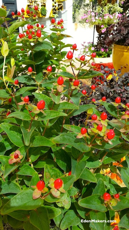 First-Editions-Red-Fame-Hypericum-red-berries-fall-container-plant-garden-expert-shirley-bovshow-edenmakers