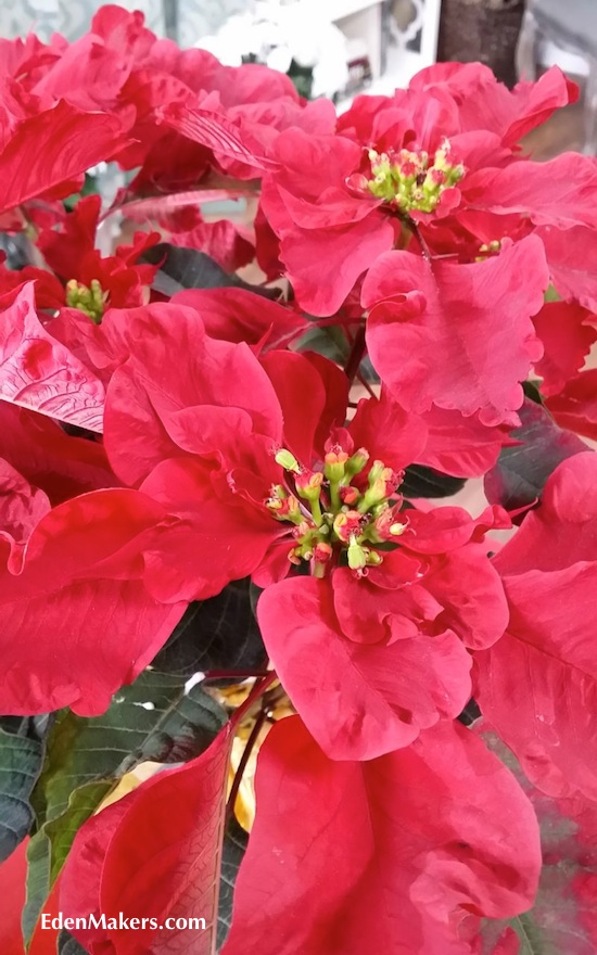 Carousel-Red-Poinsettia-with-scalloped-leaves-bracts-wine-red-edenmakers-blog