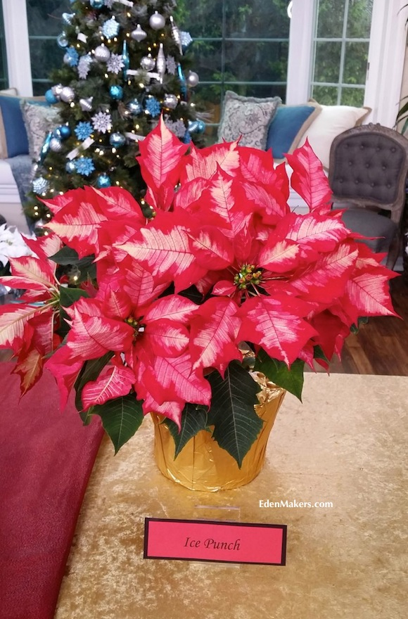 Ice-Punch-Poinsettia-EdenMakers-blog-red-and-white