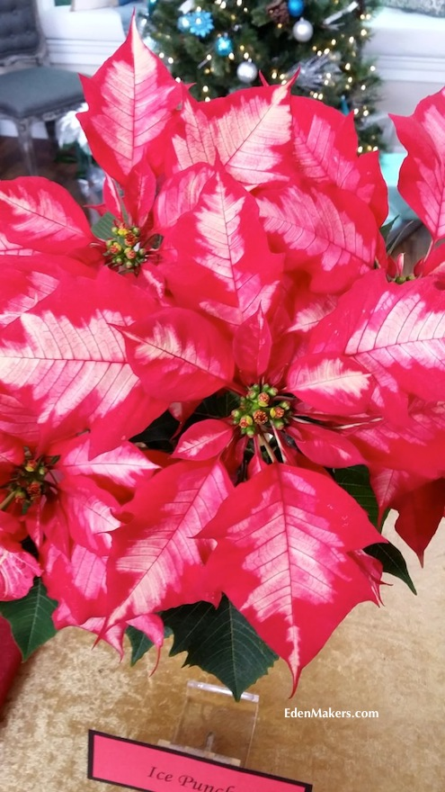 Ice-Punch-Poinsettia-red-with-white-variagation-shadows-edenmakers-blog