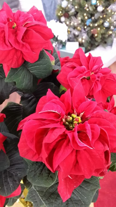 Winter-Rose-Red-Poinsettia-close-up-yellow-cycathia-flowers-edenmakers