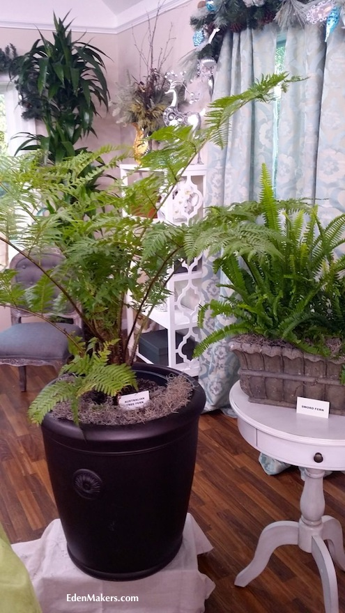australian-tree-fern-cyathea-cooperi-bronze-container-sword-fern-display-shirley-bovshow-edenmakers-blog