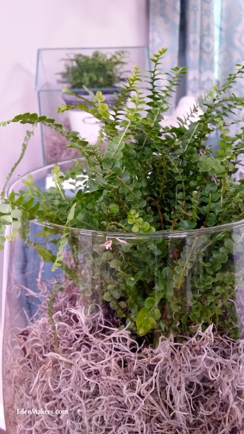 button-fern-in glass-terrarium-edenmakers-blog-shirley-bovshow
