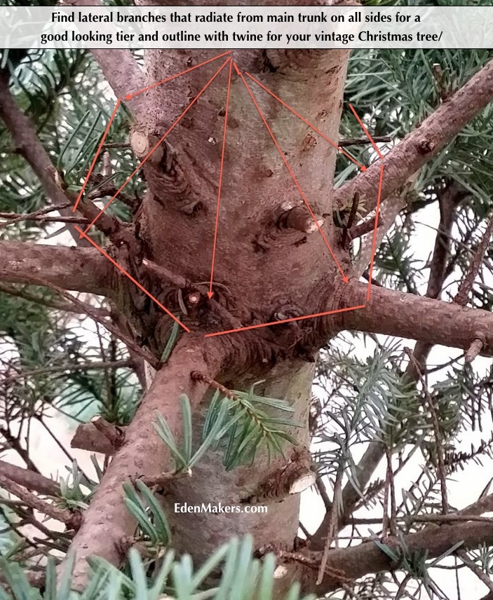 ateral-branches-radiating-from-main-trunk-noble-fir-edenmakers-blog