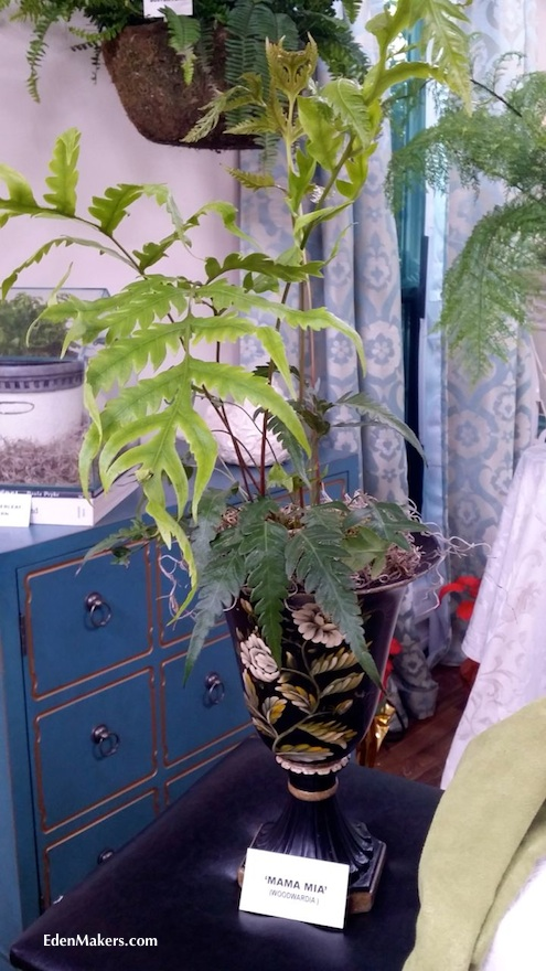 mama-mia-woodwardia-orientalis-fern-display-designed-shirley-bovshow-home-and-family-show