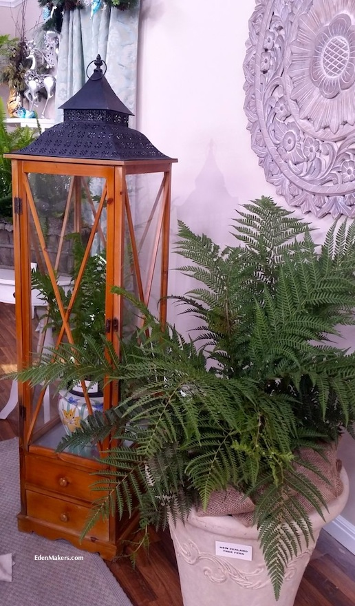 new-zealand-tree-fern-edenmakers-blog-shirley-bovshow-wardian-chest-ferns