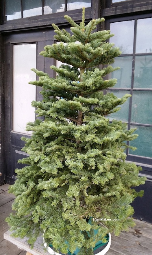 noble-fir-christmas-tree-on-table-with-lazy-susan-shirley-bovshow-edenmakers-blog