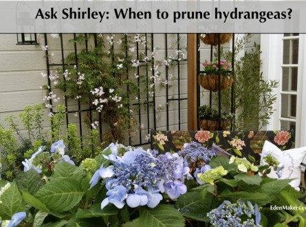 blue-hydrangeas-container-plants-patio-edenmakers-blog