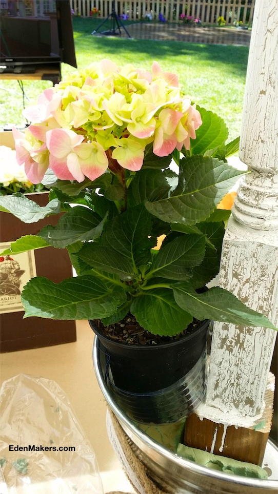 5-inch-pink-hydrangea-with-plastic-plant-liner-in-galvanized-bucket-wedding-luminary-edenmakers-blog
