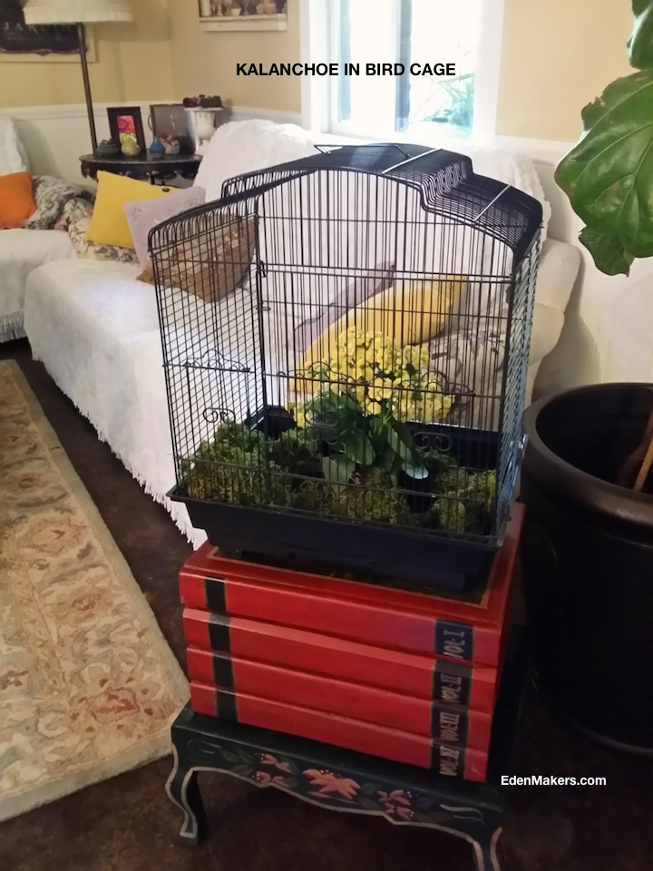 kalanchoe-plant-displayed-in-bird-cage-for-safety-reasons-in-home-with-dogs-edenmakers-blog