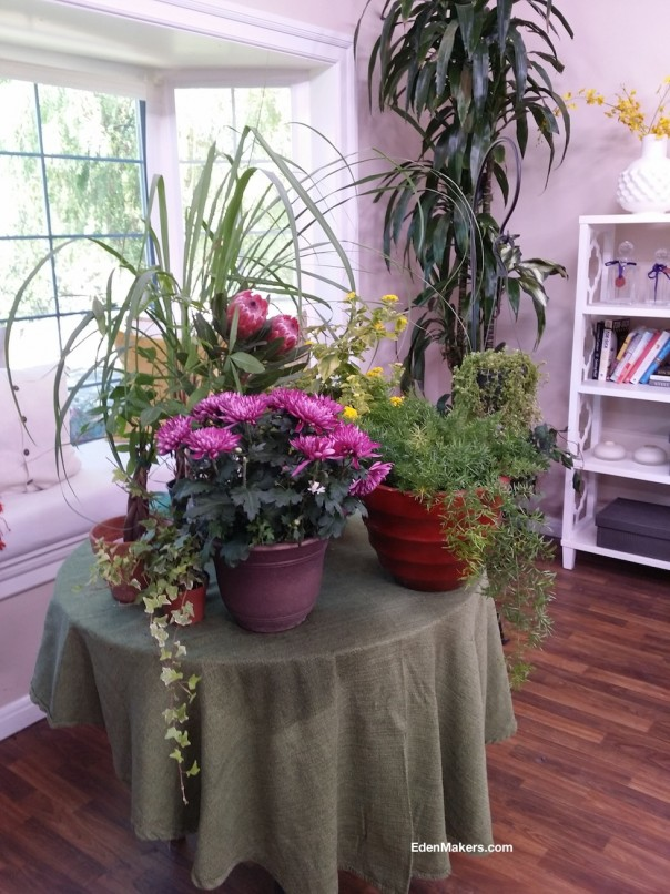 place-potted-plants-on-table-near-window-for-overwintering-poisonous-plants-edenmakers-blog