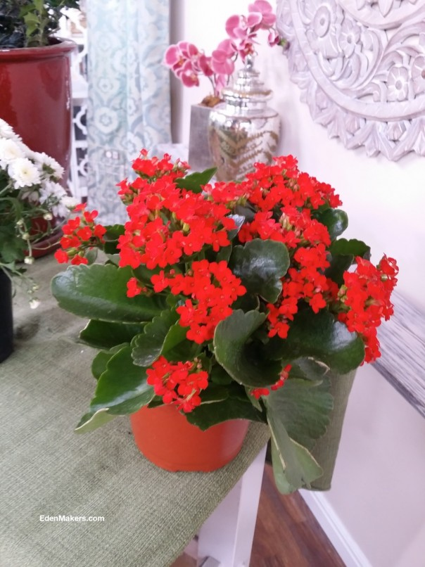 red-kalanchoe-gift-plant-poisonous-to-dogs-edenmakers-blog