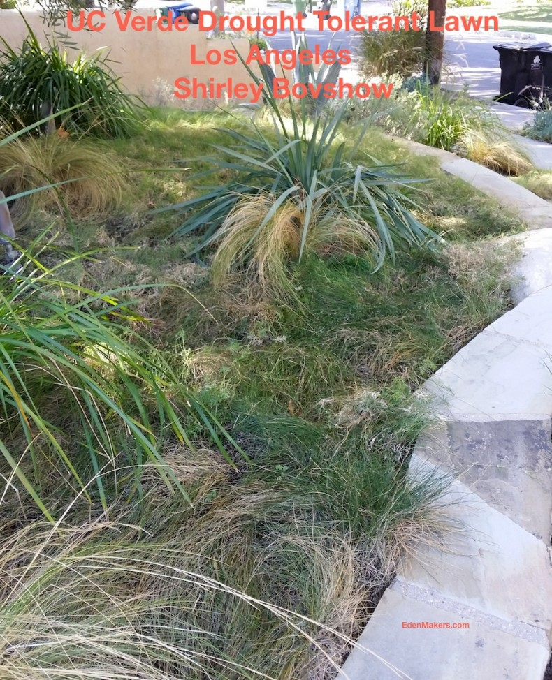 uc verde lawn interplanted with ornamental grasses in order to add a more lush, green look to the lawn in los angeles