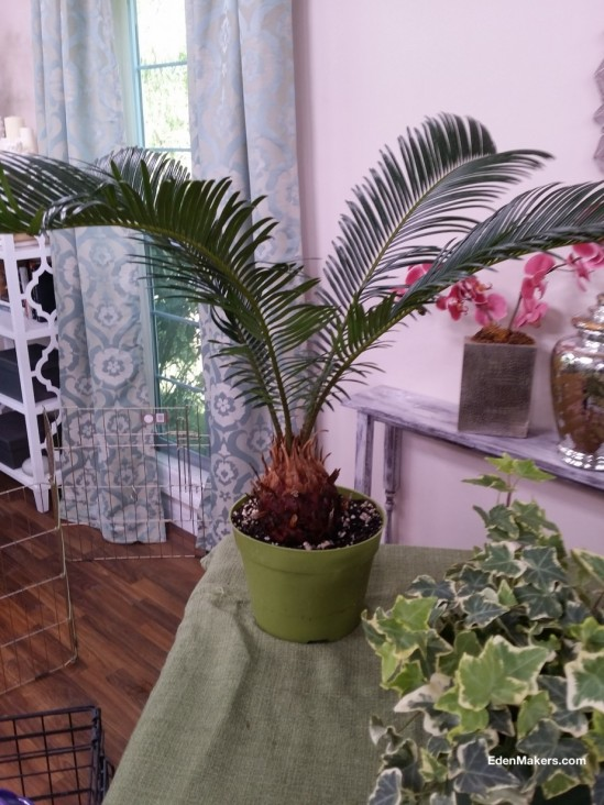 sago-palm-cycad-plant-poisonous-to-dogs-edenmakers-blog.jpg