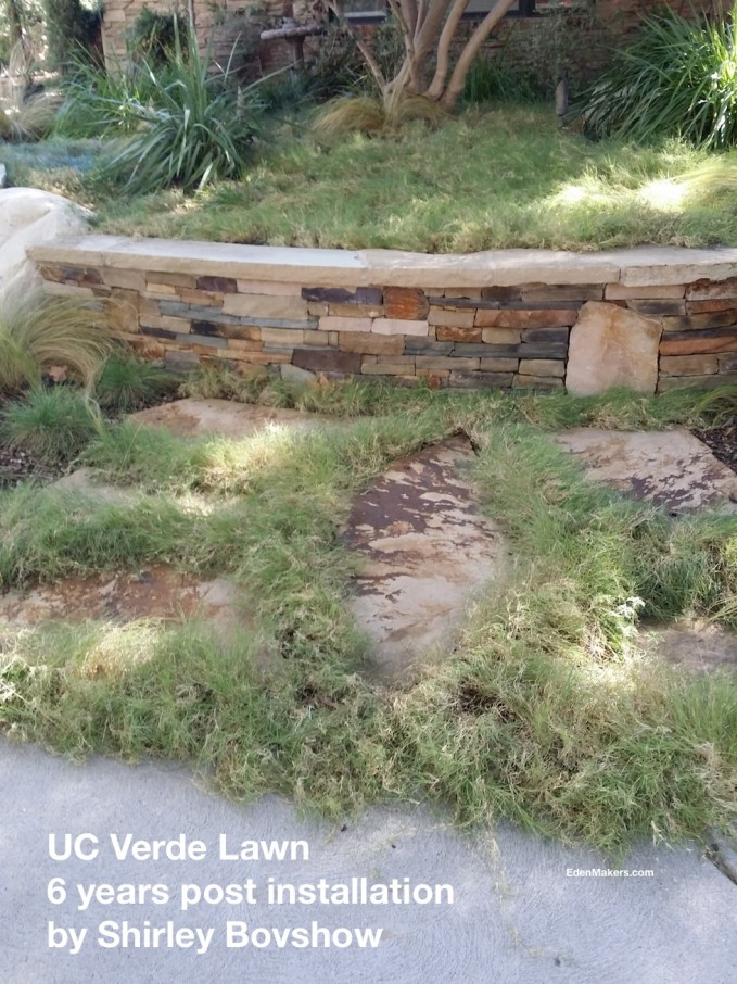UC Verde drought tolerant lawn planted in the crevices between stepping stones in landscape designer, Shirley Bovshow's Los Angeles yard edenmakers blog