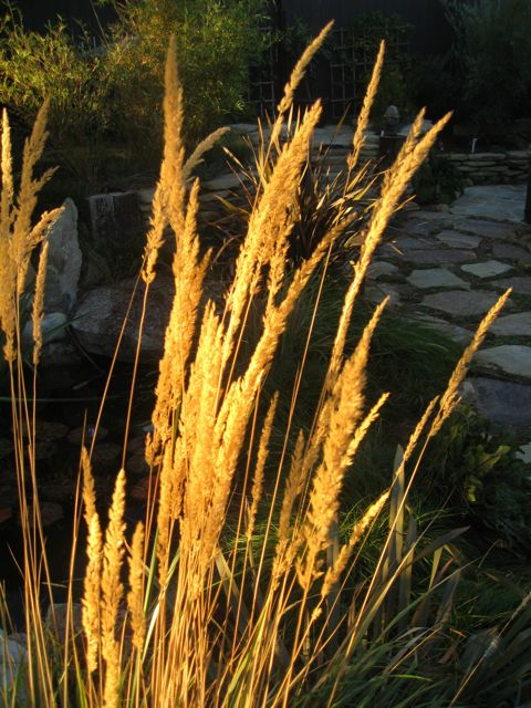 closeup ornamental grass calamagrostis plumes backlit by morning sun