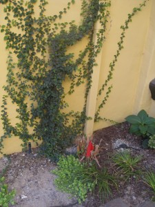 ficus repens creeping fig vine stuck on wall