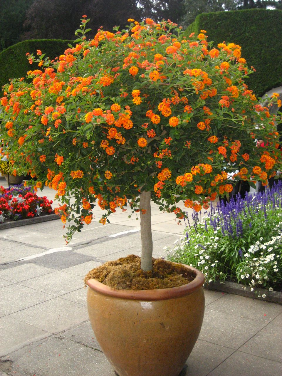 Provides profuse orange red flowers year round in frost free areas