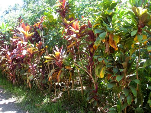 cordyline plants used as hedge