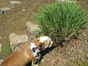 dog eating lemongrass