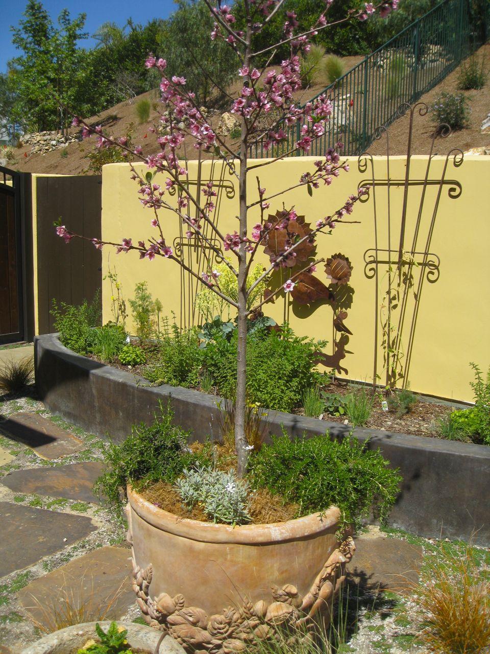 Dwarf Fruit Trees in Pots