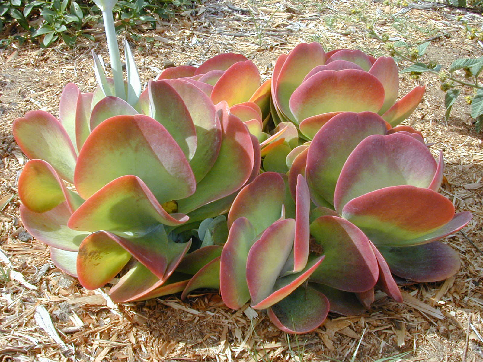 "Kalanchoe ""Flapjack"" plant"